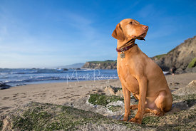 Hungarian Vizla in Profile Looking to Side on beach under blue skies