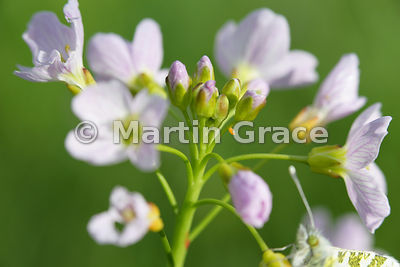 Flower head of Lady's Smock (Cuckoo Flower) (Cardamine pratensis) with 2- to 3-day-old orange egg of the Orange Tip butterfly (Anthocharis cardamines)