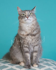 Grey and white cat with funny expression in studio