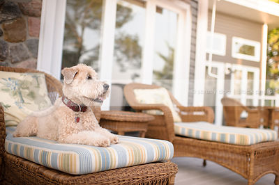 clipped terrier dog lounging on patio furniture on deck