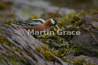 Female Red Phalarope (N America) or Grey Phalarope (Europe) (Phalaropus fulicarius) in red summer breeding plumage, Albert I Land, Spitsbergen, Svalbard