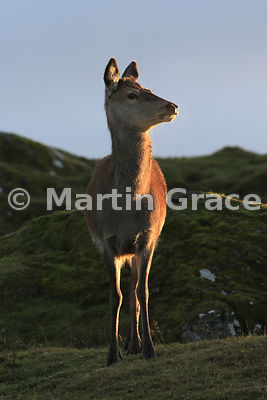 Red deer hind (Cervus elaphus) in the late afternoon sunlight, Scottish Highlands
