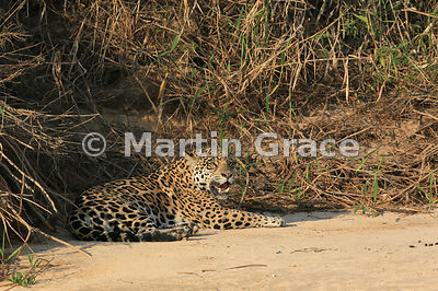 Female Jaguar 'Hunter' (Panthera onca) rests by Three Brothers River, Northern Pantanal, Mato Grosso, Brazil. Image 33 of 62; elapsed time 45mins