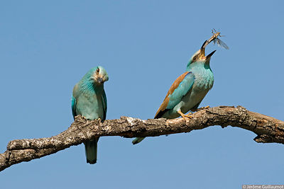 European Roller Images - Coracias garrulus photos
