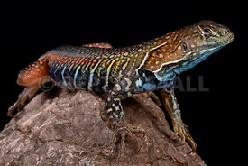 Giant butterfly agama, leiolepis guttata