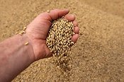 Hand pouring harvested barley
