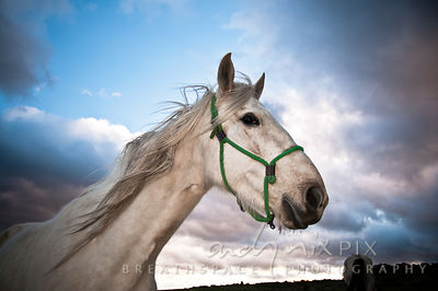 Close-up, side view head and shoulders shot of a white horse wearing a green halter, looking sideways at the camera, blue sky with pink clouds, sunset