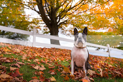 little boston terrier dog sitting in autumn leaves with fence and tree
