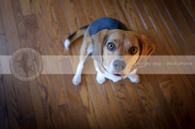 beagle dog looking upward from hardwood floor indoors