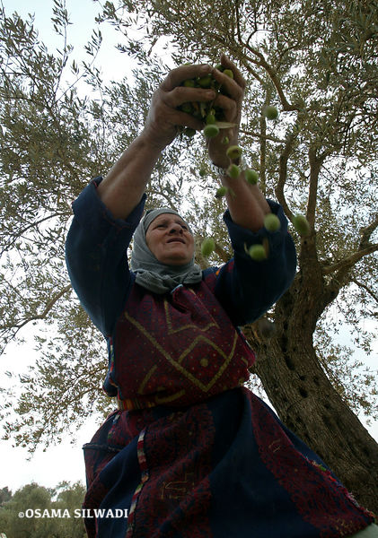 Olive Harvest  photos