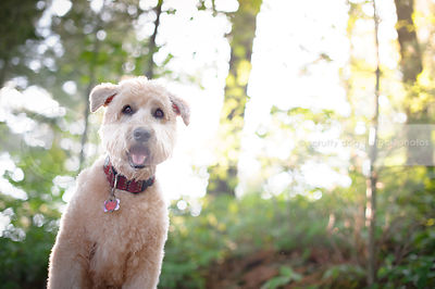portrait of soft coated wheaten dog in backlit forest