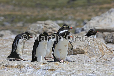 Dirty Southern Rockhopper Penguins (Eudyptes chrysocome chrysocome) heading down the penguin highway from the colony to the sea, Cape Coventry, Pebble Island