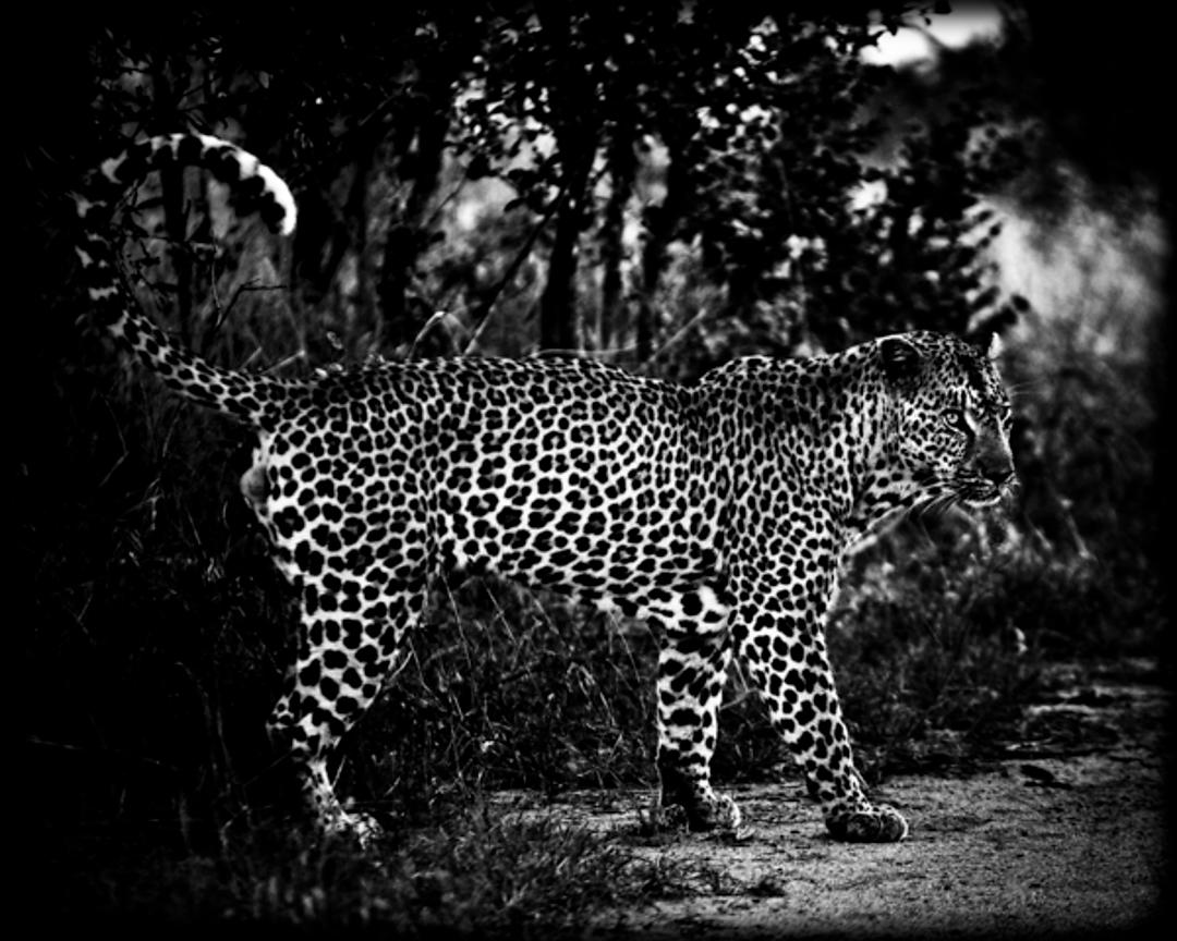 4349-Leopard_on_the_road_South_Africa_2008_Laurent_Baheux