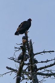 Turkey vulture in the vincinity of Pfeiffer State Park, California (2006/03/24)