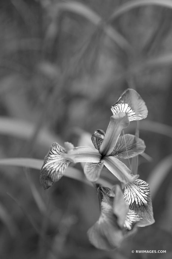 WILD IRIS FLOWER SIEUR DE MONTS ACADIA NATIONAL PARK MAINE BLACK AND WHITE