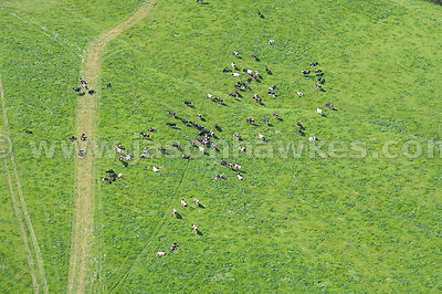 Cows in field, near Foxley, England