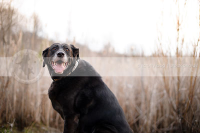 smiling senior black labrador retriever sitting by reeds