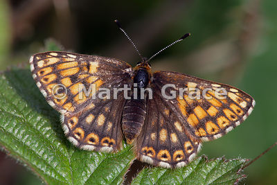 Upper side of a female Duke of Burgundy butterfly (Hamearis lucina) resting on a bramble (Rubus sp) leaf, Cumbria, England