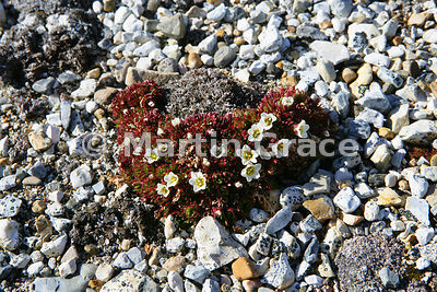 Tufted Saxifrage (Saxifraga cespitosa) on the beach at Torellneset, Nordaustlandet, Svalbard