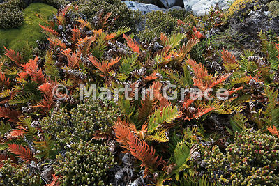 Tall Fern (Blechnum magellanicum) growing in Diddle-Dee (Empetrum rubrum), East Falkland, Falkland Islands