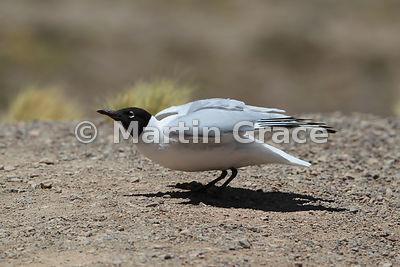 Andean Gull (Larus serranus) coruching down as a prelude to taking off, at Laguna Miniques, Andean altiplano, Atacama
