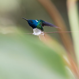 White Necked Jacobin wildlife photos
