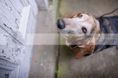 senior basset hound dog at door looking upward wants inside