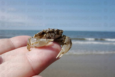 Brown crab at the beach North Sea coast Norderney, Germany