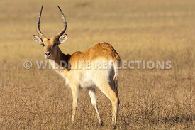 red_lechwe_buck_2