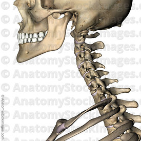 neck-intervertebral-disc-discus-intervertebralis-spinous-process-processus-spinosus-cervical-spine-side