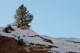 Lone tree on hill, Zion National Park, Utah, USA (Published Nature Photographer Magazine, Fall/Winter 2010)