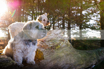 two small dogs perched on log in sunflare pine trees