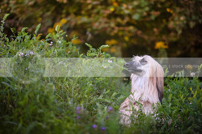 portrait of afghan hound dog eyes closed in natural setting