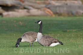 Canada Goose Branta canadensis Bushy Park London October