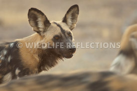 African Wild Dog Profile