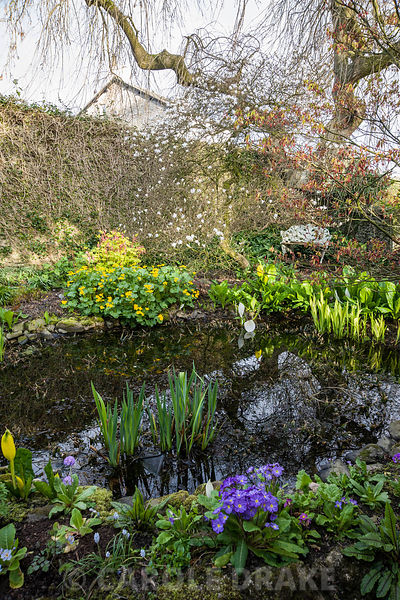 Small pond surrounded by Lysichiton americanus, irises, marsh marigold, Caltha palustris, primulas and Magnolia stellata. Summerdale House, Lupton, Cumbria, UK