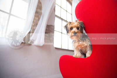 small morkie puppy dog peeking from red chair near window in studio indoors