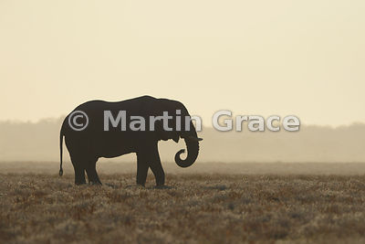 African Elephant (Loxodonta africana) in silhouette as it feeds just after dawn, Etosha National Park, Namibia