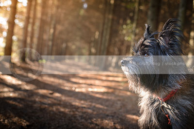 headshot of scruffy terrier dog in pine forest