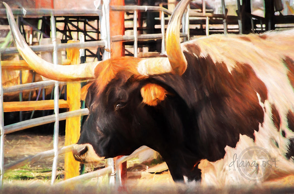 Stockyards-Old-Bull-Painting