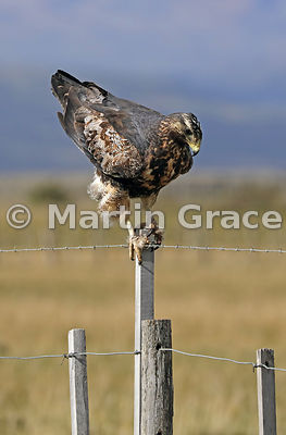 Juvenile Black-Chested Buzzard-Eagle (Geranoaetus melanoleucus) standing on a fence post with tail raised, about to defecate, Patagonia, Chile