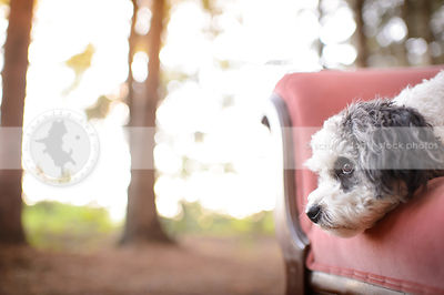 closeup headshot of grey and white dog resting on pink settee outdoors