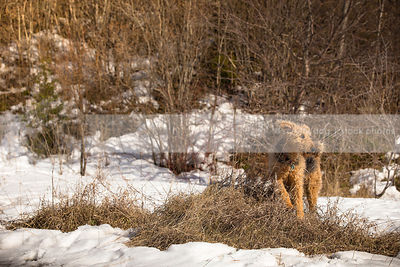 beautiful windblown airedale on dried grass mound in snowy landscape