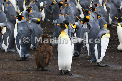 Juvenile King Penguin (Aptenodytes patagonicus) in its brown coat of down, with adult King Penguins in the colony at Volunteer Point, East Falkland, Falkland Islands