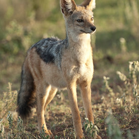 Jackals wildlife photos