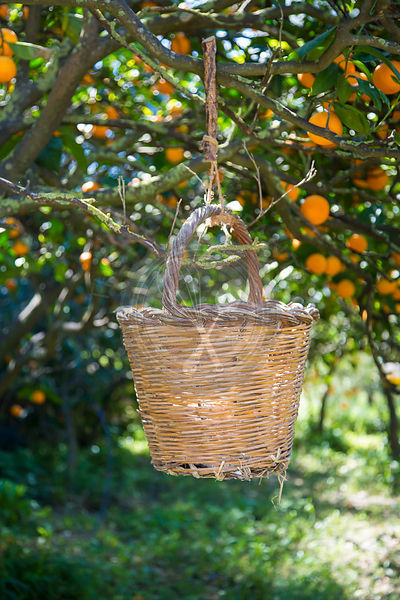 old woven basket for collecting ripe Cantoneta oranges from tree in Mallorca