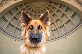 German Shepherd Mix with Large Ears in Front of domed structure