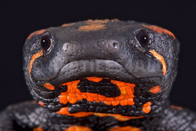 Laos warty newt (Laotriton laoensis) photos