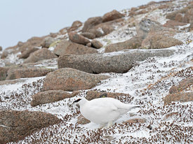 Ptarmigan (Rock Ptarmigan) Lagopus muta, male, Cairngorm Mountains, Highlands Scotland January