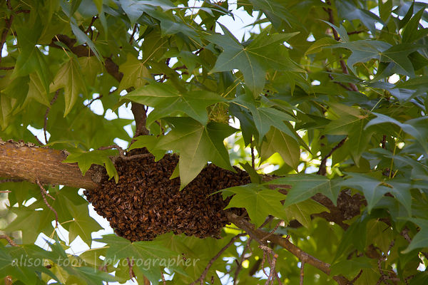 Bees photos